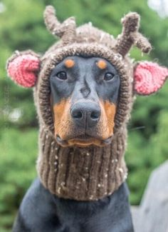 PINK is ready for the cold weather! AMM Images #dobermanpinscher