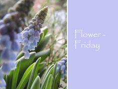 Flower-Friday, Traubenhyazinthen