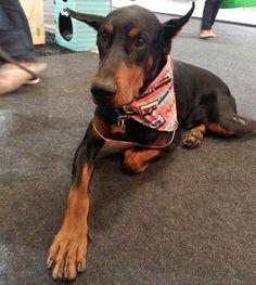 Elegante de bandana #pet #patudos #cachorro #dog