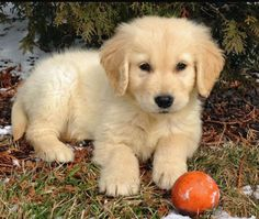 If you get me a golden retriever puppy I will love you forever
