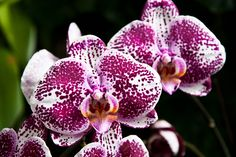 Phal type orchid