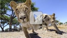 Just When You Thought You Couldn't Get Any Closer to Lion Cubs, This Happens