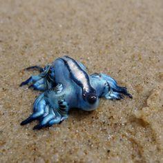 Glaucus atlanticus es una especie de babosa marina pelágica, nudibranquio y molusco gastrópodo de la familia Glaucidae.