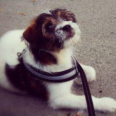 heididahlsveen:  I am sooo #bored, says #atsjoo #dog #hund #puppy #valp