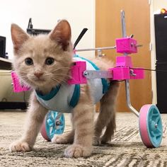 Chloe is making great progress, here she is after being fitted with wheels to help with her mobility. Awww...