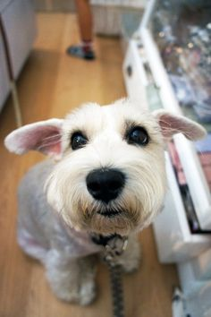 Little white mini schnauzer...Can we go the the pet store and get a new toy, PLEASE