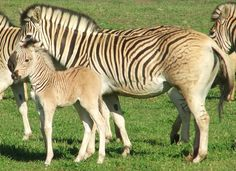 Quagga Project - Mom even has shadow striping in her mane!