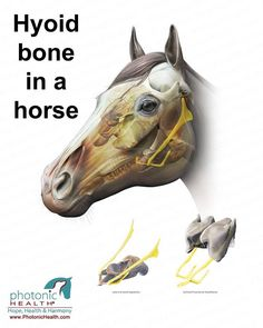 The Hyoid is a very delicate bone structure in the horse's head. It can easily be offset and that will cause the horse pain and discomfort, even a headache. It can also be reset to its natural position with Photonic Therapy. A good thing to do before having the teeth floated too! http://www.lechevalaunaturel.blogspot.ca/p/blog-page_14.html