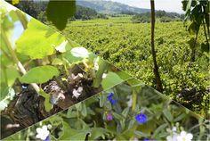 Soalheiro… integralmente diferente… fruto da Natureza. Soalheiro... entirely different… by the Nature.
