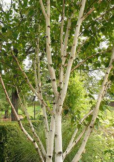 Betula utilis jacquemontii-gorgeoous whites