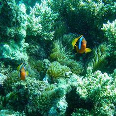 Great Barrier Reef - Og jeg fandt sørme Nemo  #greatbarrierreef #diving #australia by hellebjeldbakhenriksen http://ift.tt/1UokkV2