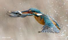 Kingfisher in flight  alantookthis.co.uk