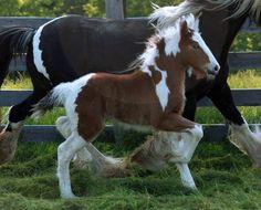 Beautiful tri colored colt