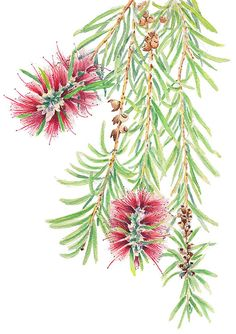 Callistemon or Bottlebrush, June 2016 - watercolour painting by Zoya Makarova Australian Wildflowers, Australian Native Flowers, Australian Art, Watercolor Print, Watercolor Flowers, Watercolor Paintings, Watercolours, Botanical Drawings, Botanical Prints