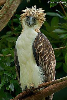 O maravilhoso mundo dos animais:  Aves em A águia-das-filipinas ou águia-pega-macaco (Pithecophaga jefferyi) é uma grande águia em risco de extinção que habita as florestas tropicais das Filipinas. geral