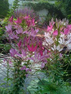 Cleome.  My Grandma had these when I was growing up. I will have them this year in my garden. So excited to have finally found seeds.