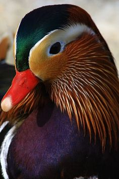 Mandarin Duck portrait - Royal Colors - by Thilil Canard Mandarin, Mandarin Duck, Beautiful Birds, Animals Beautiful, Cute Animals, Wild Creatures, All Gods Creatures, Aix Galericulata, Royal Colors