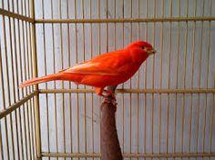 Info Daftar Harga Burung Kicau Pada Semester Dua Tahun 2014
