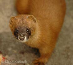 Mustela sibirica - Siberian Weasel