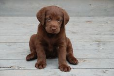 Labrador Retriever ♥