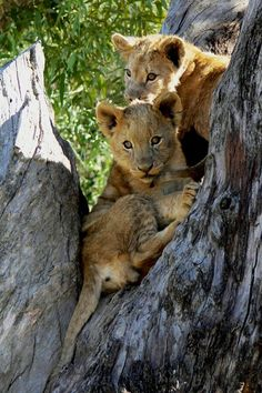 ~~Lion Cubs by Arno & Louise Wildlife~~