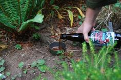 Natural Garden Slug Control - Every Day Living - beer & a tuna can!  4 easy steps.