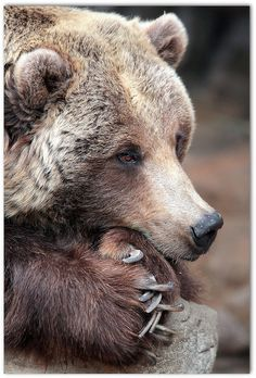 """Grizzly Bear Complacancy"" by metherit ** learning more every day** on Flickr - Grizzly Bear"