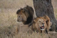 Three Large Lion brothers beneath the trees. Trees, Animals, Animales, Animaux, Home Decor Trees, Animal, Animais, Wood, Dieren