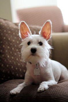 OMG she looks like Mimi!!! ~ Chloe... White Schnauzer LOVE these ears!  She looks like a bunny :-)