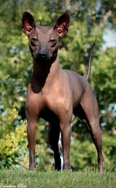 A genetic study was recently conducted in order to determine the origin of the Xoloitzcuintli breed. The study did NOT find a close genetic relationship between Xoloitzcuintli and the Chinese Crested Dog, another hairless breed that is cited by the Americ Mexican Hairless Dog, Unusual Dog Breeds, Harlequin Great Danes, Rare Dogs, Inka, Chinese Crested Dog, Puppies And Kitties, Beautiful Dogs, Animals And Pets