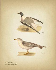 Birds (Gulls) - 8x10 - Fine art print of a vintage natural history antique illustration.. $11.50, via Etsy.