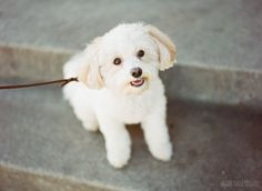 The sweetest little Maltipoo in the land! | St. Louis Dog Photographer