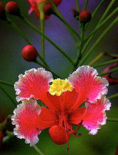 On Bonaire I believe we call this flower the Tuturutu. Grows in my graden. Caesalpinia