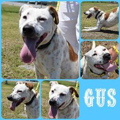 To Be KILLED 07/08/17 ***Reason: SPACE*** ➖GUS➖ 8 months old • Australian Cattle Dog, Blue Heeler Mix • Male • Loves having his spotted brown coat brushed by volunteers. Gus got along with others and did not react to cats. • Available 05/04/17 • ℹ️For More Pics, Videos & Info: http://www.dogsindanger.com/dog/1493601973852