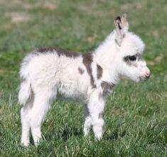 D'aww...A Baby Donkey. I just wanna pet his fluffy forehead. Isn't Donkey a fun word to say? ;)