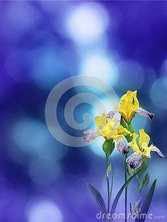 Yellow iris flowers on the violet blue blurred bokeh ba