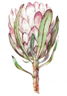 Illustration about Hand painted floral object. Watercolor botanical illustration of protea flower. Natural element close up isolated on white background. Illustration of green, floral, jungle - 147548541 Protea Art, Protea Flower, Lilies Flowers, Cactus Flower, Flowers Garden, Illustration Blume, Watercolor Illustration, Watercolor Flowers, Watercolor Paintings
