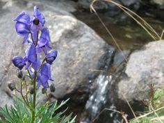 Acónito Azul en flor, también conocida como Matalobos. Bonita planta, pero muy muy tóxica, Plan de Aigualluts. Localización: Pirineos, Huesca, Aragón, España. Spain.