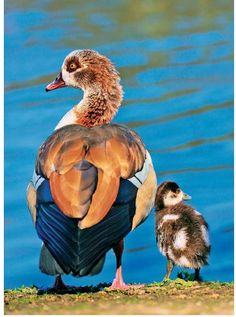 ICYMI: Choosing breeds of #geese. #homestead  Source - How to Raise #Poultry