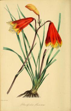 Blandfordia grandiflora - circa 1839