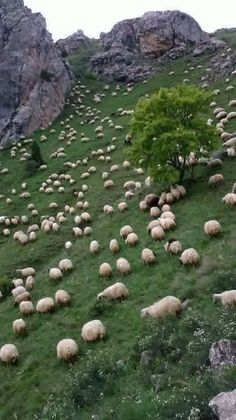 Sheep on mountainside rough scenery Farm Animals, Animals And Pets, Cute Animals, Beautiful Creatures, Animals Beautiful, Sheep And Lamb, Farm Life, Belle Photo, Pet Birds