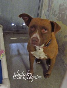 KILLED --- A4833220 I am a friendly 2 yr old female brown/white pit bull mix. I came to the shelter as a stray on May 22. available 5/27/15 NOTE: Pit bulls are not kept as long as others so those dogs are always urgent!!  Baldwin Park shelter https://www.facebook.com/photo.php?fbid=972527609425743&set=a.705235432821630&type=3&theater