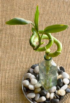 Looking For An Ideal Office Plant? Try Lucky Bamboo Looking For An Ideal Office Plant? Try Lucky Bam Cool Plants, Green Plants, Tropical Plants, Best Office Plants, Plants Grown In Water, Lucky Bamboo Plants, Growing Plants Indoors, Cactus, Bedroom Plants