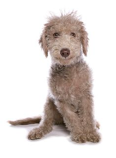 This Bedlington terrier puppys coat is dark now, but it will fade to a pale bluish gray, or pale sandy color, in adulthood. Grown Bedlington terriers look a lot like lambs — with a soft, woolly coat and lamb-shaped heads. This dog has a mild personality.