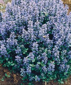Ajuga 'Chocolate Chip' with its spring blooms.  This evergreen, deer resistant ground cover has stunning blue blooms in spring.  As the season progresses,t he leaves turn bronze.  This is another plant that isn't terribly photogenic, but is really tough and can handle part shade with aplomb.