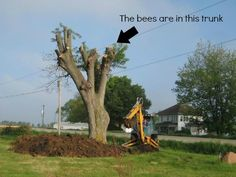 The bee tree - A highway expansion and relocation caused the homeowner to learn that… this tree was a bee tree. [Removing a nest from a difficult to access spot.]