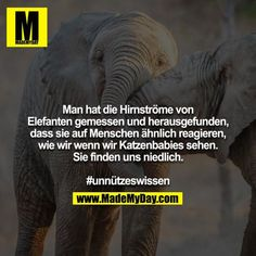 Man hat die Hirnströme von Elefanten gemessen und herausgefunden, dass sie auf … The brainwaves of elephants have been measured and found to be similar to humans, as we do when we see kittens. Real Facts, Funny Facts, Funny Memes, Jokes, Funny Cute, Hilarious, Ah Ok, Useless Knowledge, Good Comebacks