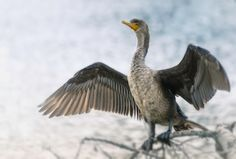 Double-crested cormorant by NapoxInc
