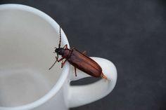 Fabriquer piege pour cafard avec marc de caféRemplissez une canette vide de 3 à 4 centimètres de marc de café humidifié. Puis, sur le bord de la canette collez du scotch double-face ultra collant. L'odeur du marc de café va attirer les cafards directement dans le piège.  Source : Comment-Economiser.fr   http://www.comment-economiser.fr/utilisations-marc-de-cafe.html