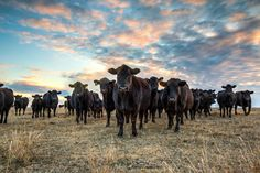 Cattle, Western art, Angus cattle, livestock photo, ranch photography, rustic art, cattle photography, free shipping